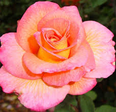 mardi gras roses how to plant and prune bushes with a photo gallery of roses