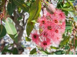 flowering eucalyptus stock photos flowering eucalyptus stock