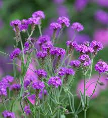 verbena flower rigida