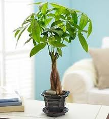 indoor trees that don t need light this money tree plant doesn t require much attention at all it