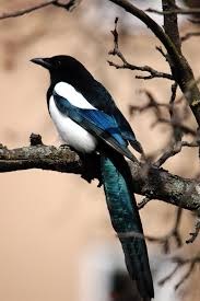 Typical Magpies