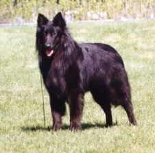 belgian shepherd national specialty bsca specialty results for 1997