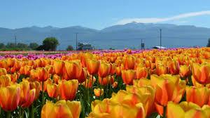 tulip field abbotsford british columbia canada youtube