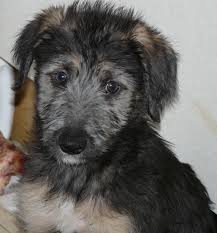 afghan hound collie mix lurcher breed info temperament puppies care training pictures