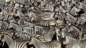 pattern formation zebra working place zz why zebra are striped
