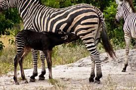 black baby zebra africa geographic