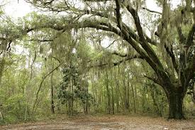 plants native to mexico 10 things you should know about spanish moss mental floss
