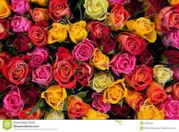 roses colors colorful roses background royalty free stock image image 24864596