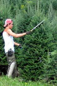 christmas tree cultivation u2013 learn about growing christmas trees
