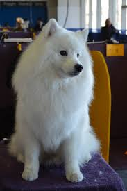 pictures of a american eskimo dog file american eskimo dog 9 gch anana u0027s magnificent 1 cgc 02