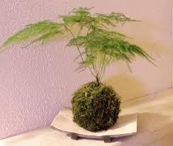 plants u0026 flowers lace fern
