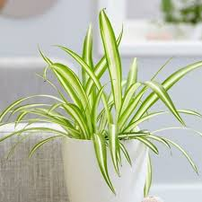 indoor plant buy indoor plants by waitrose garden