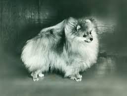 american eskimo dog vs pomeranian pomeranian history u0026 training temperament