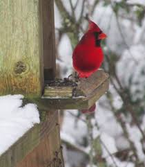 cardinal our fine feathered friends