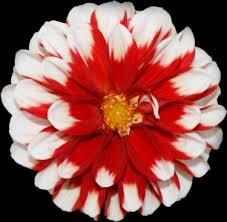 christmas flowers christmas flowers free stock photos 13 124 free stock