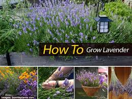 how to tips on growing lavender