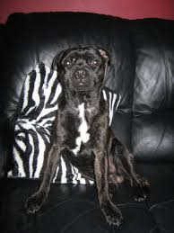 pug x boxer dog george u2013 rehomed animals rehomed rspca tameside and glossop