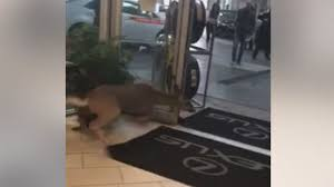 lexus dealership roswell deer hops through window into roswell car dealership wsb tv