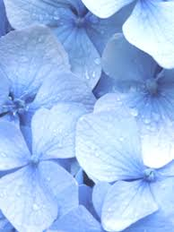 baby blue light blue flowers baby blue flowers flower explosion