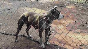 american pitbull terrier apbt the pit bull bible apbt database