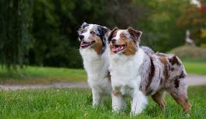 australian shepherd overprotective 10 dog breeds who live the longest worldatlas com