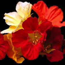 nasturtium flowers nasturtium flowers spicy yet sweet reminiscent of watercress