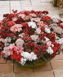 sweet william flowers buy hardy perennials now sweet william mixed bakker