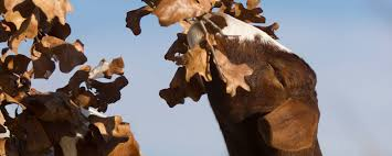 Get Your Goat Rentals by Using Goats For Vegetation Management