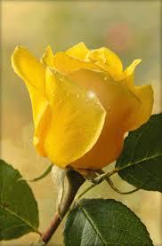 imagenes flores relajantes joão carlos google the flowers of love pinterest rosas