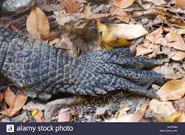 alligator claws animal reptile crocodile zoo foot claw alligator paw