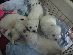 bichon frise puppy 8 weeks frosty bichons bichon frise puppy