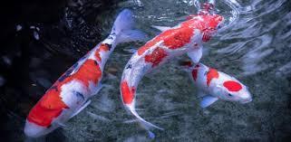 wallpaper ikan bergerak untuk pc koi fish live wallpaper apps on google play