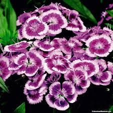 dianthus flower purple picotee dianthus sweet william american
