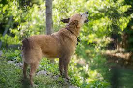 why do dogs howl rover com