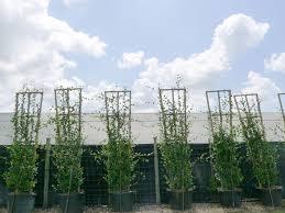 confederate jasmine trellis trachelospermum jasminoides