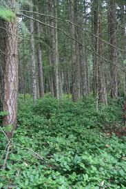 shade loving native plants the wild garden hansen u0027s northwest native plant database