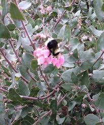 santa cruz native plants quick note on natives hybridizing with cultivars uc master