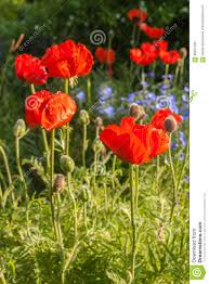 flowerbed with oriental poppies and decorative blue linen stock