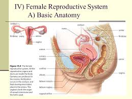 Anatomy Of The Female Reproductive System Pictures Iv Female Reproductive System Ppt Video Online Download
