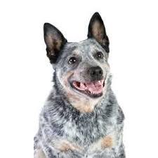 australian shepherd qld australian cattle dog puppies for sale queensland blue heeler