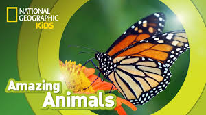 monarch butterfly amazing animals