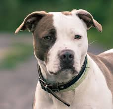 american pitbull terrier c american pit bull terrier an easygoing good natured loyal and