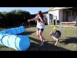 australian shepherd agility australian shepherd agility training at home youtube