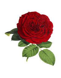 Rose Flower Images Free Illustration Rose Flower Flowers Red Green Free Image