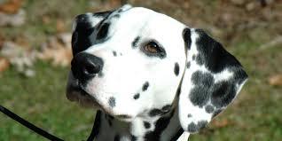 dalmatian information characteristics facts names