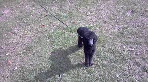 dog trolley with flexi leash youtube