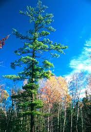 white pine tree white pine pinus strobus wildlife journal junior