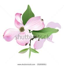 dogwood flowers pink dogwood flowers stock images royalty free images vectors