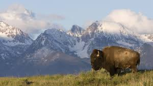 american bison wallpapers amazing images american bison hd