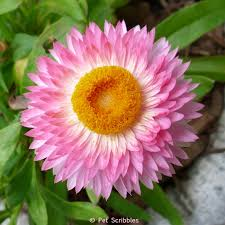 Long Blooming Annual Flowers - long blooming drought tolerant flowers